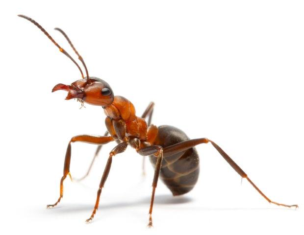 La hormiga