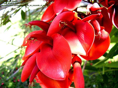 La Flor del Ceibo (Poesía)