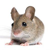 Matar a un ratón