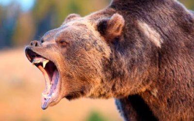 Ataque de oso – Noticia
